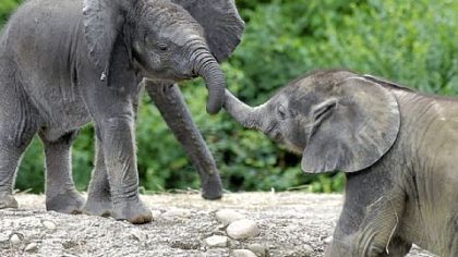 Baby elephants Angelina and Zuri frolic at the Pittsburgh Zoo & PPG Aquarium.