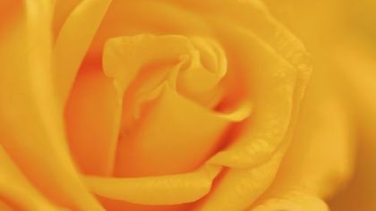 Bailey Nurseries has introduced the &#039;Forty Heroes&#039; rose to honor the crew and passengers of United Flight 93, which crashed in Shanksville, Somerset County. The deep yellow hybrid tea has a fruity fragrance and will be available at area nurseries. A donation from the sale of each &#039;Forty Heroes&#039; rose will be made to the &quot;Remember Me&quot; Rose Garden Maintenance Fund, which finances the care of gardens in New York City, Washington, D.C., and Shanksville. The &#039;Forty Heroes&#039; rose is from Bailey Nurseries.