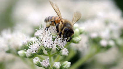 A bees collects nectar from a boneset's white blooms.