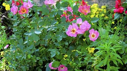 Modern day shrub roses, unlike most traditional rose varieties, do well when mixed with other flowering plants. &#039;Rainbow&#039; Knock Out shrub roses, thrive even in partial shade.