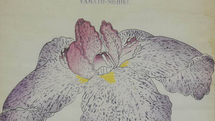 This Japanese iris wood block print came from the Yokohama Nursery catalogue of irises.  This is a purple spotted iris and it&#039;s estimated to sell for between $100 and $200.