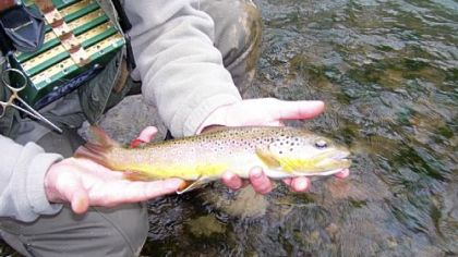 With the trout-stocking budget stretched painfully thin, the Pennsylvania Fish and Boat Commission is encouraging anglers to seek wild trout, such as the one above caught and released at Fisherman's Paradise at Spring Creek.