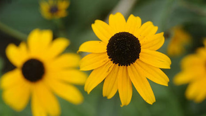Black-eyed Susans are native perennials that bloom from late summer to fall.