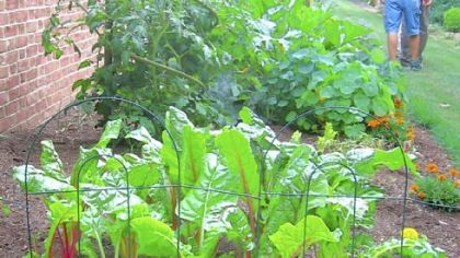 Swiss chard 'Bright Lights' prospers in the vegetable patch.