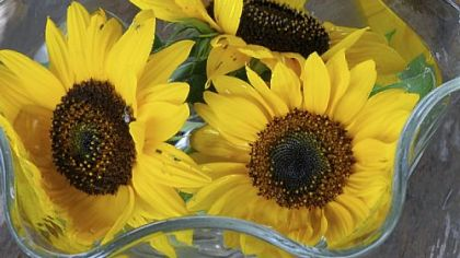 Fresh sunflowers from Churchview Farm in Baldwin.