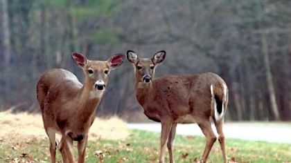 Deer are accustomed to sounds from their natural environment and are alerted by sounds that seem unfamiliar or out of place.