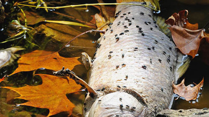 Insects take over the carcass of a dead fish along the bank of Dunkard Creek.